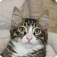 Adopt A Pet :: Miu miu - Santa Monica, CA