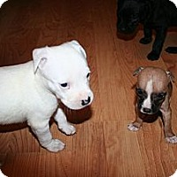 Adopt A Pet :: Tiny Teena - Westfield, IN