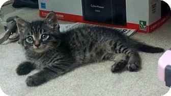 Domestic Shorthair Kitten for adoption in Troy, Michigan - Junior