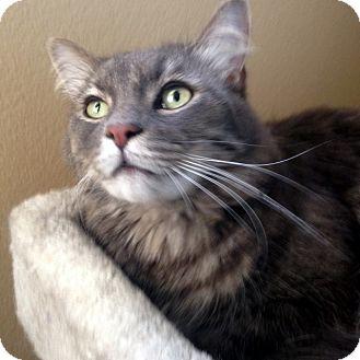Domestic Mediumhair Cat for adoption in Las Vegas, Nevada - Michael