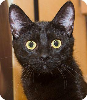 Domestic Shorthair Kitten for adoption in Irvine, California - Iggy