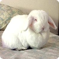 Adopt A Pet :: Marshmallow - Williston, FL