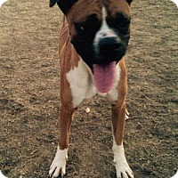 Boxer Dog for adoption in Bakersfield, California - Sam the Boxer