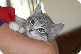 Domestic Shorthair Kitten for adoption in Rocklin, California - Amy Pond