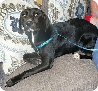 Labrador Retriever Mix Dog for adoption in Eastpoint, Florida - Bear
