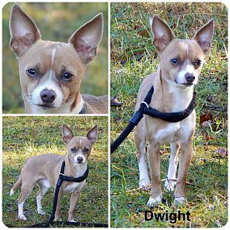 Chihuahua Dog for adoption in Williamsburg, Virginia - Dwight