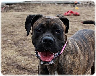 Boxer Mix Dog for adoption in Welland, Ontario - Donna