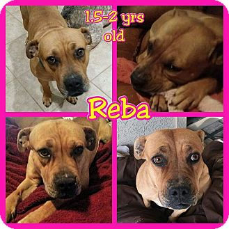 Boxer Mix Dog for adoption in Mesa, Arizona - Reba
