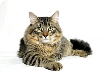 Maine Coon Cat for adoption in Lufkin, Texas - Jasper