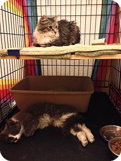 Domestic Longhair Cat for adoption in Brooklyn, New York - Jade and Jude