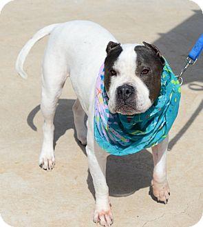 Pit Bull Terrier Mix Dog for adoption in Gardnerville, Nevada - Gia