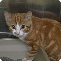Adopt A Pet :: Gingerbread Man - Richboro, PA