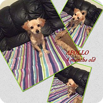 Spaniel (Unknown Type) Mix Puppy for adoption in LAKEWOOD, California - Aollpo