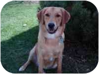 Golden Retriever/Shepherd (Unknown Type) Mix Dog for adoption in Cleveland, Ohio - Sunny