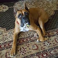 Boxer Dog for adoption in Hurst, Texas - Fritzi