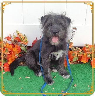 Terrier (Unknown Type, Small) Mix Puppy for adoption in Marietta, Georgia - BLACKIE