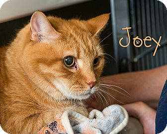 Domestic Shorthair Cat for adoption in Somerset, Pennsylvania - Joey