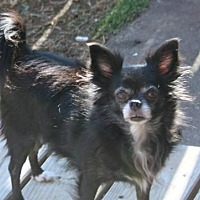 Chihuahua Dog for adoption in Centreville, Virginia - Lulu