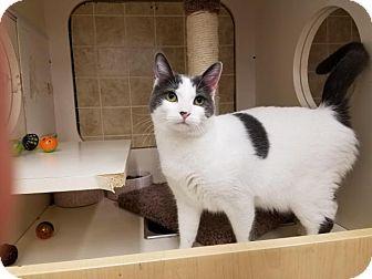 Domestic Shorthair Cat for adoption in Flower Mound, Texas - Velcro