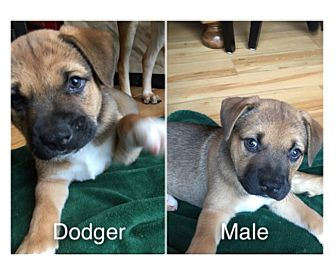American Staffordshire Terrier Mix Puppy for adoption in Seattle, Washington - Doger