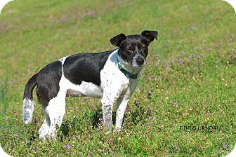 Rat Terrier/Labrador Retriever Mix Dog for adoption in Chicago, Illinois - Noel