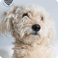 Adopt A Pet :: Benji - Inglewood, CA