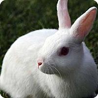 Adopt A Pet :: Marshmallow - Tustin, CA