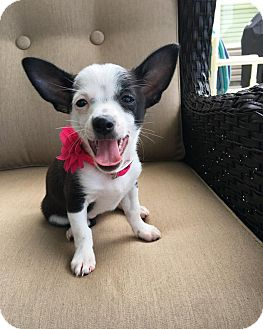 Chihuahua Mix Puppy for adoption in Pittsburgh, Pennsylvania - Punky's Puppies