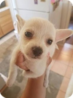 Maltese/Terrier (Unknown Type, Small) Mix Puppy for adoption in Los Angeles, California - Tank