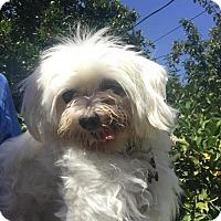 Adopt A Pet :: Kobe - Fullerton, CA