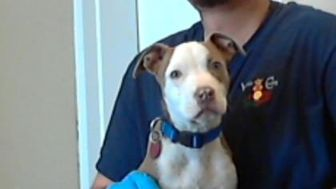 American Pit Bull Terrier Mix Dog for adoption in Los Lunas, New Mexico - 34887773