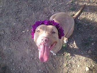 Pit Bull Terrier Dog for adoption in Lewistown, Pennsylvania - Sara