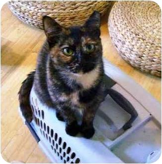 Calico Cat for adoption in Wakinsville, Georgia - Iris