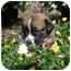 Photo 4 - Carolina Dog/Shepherd (Unknown Type) Mix Puppy for adoption in Front Royal, Virginia - Mac