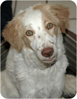 Brittany/Australian Shepherd Mix Puppy for adoption in Phoenix, Arizona - Tulip
