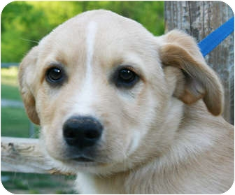 Golden Retriever Mix Puppy for adoption in Londonderry, New Hampshire - Bryson
