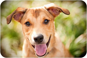 Retriever (Unknown Type) Mix Puppy for adoption in Houston, Texas - Toby