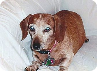 Dachshund Dog for adoption in Baton Rouge, Louisiana - Scully