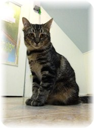 Domestic Shorthair Kitten for adoption in Shelton, Washington - Lelee