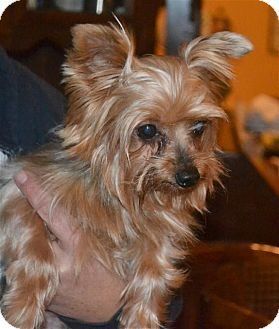Yorkie, Yorkshire Terrier Dog for adoption in Greensboro, North Carolina - Midget