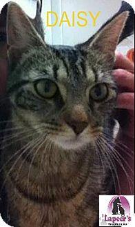 Domestic Shorthair Cat for adoption in Hadley, Michigan - Daisy