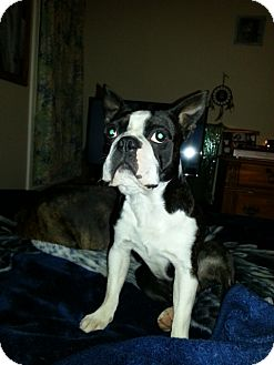 Boston Terrier/Bulldog Mix Dog for adoption in Northumberland, Ontario - Toby