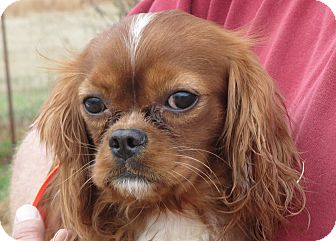 King Charles Spaniel Dog for adoption in Greenville, Rhode Island - Lynus