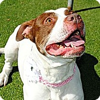 Pit Bull Terrier Mix Dog for adoption in Elizabethtown, Pennsylvania - MAE
