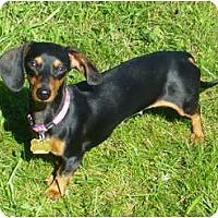 Adopt A Pet :: Sophia - San Jose, CA
