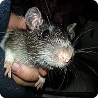 Adopt A Pet :: Brown Spot - Lakewood, WA