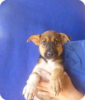 German Shepherd Dog/Labrador Retriever Mix Puppy for adoption in Oviedo, Florida - Cutie