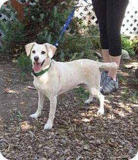 Labrador Retriever/Terrier (Unknown Type, Medium) Mix Dog for adoption in Sonoma, California - Macho