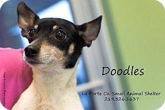 Rat Terrier Dog for adoption in La Porte, Indiana - Doodles