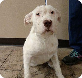 Giant Schnauzer/Labrador Retriever Mix Dog for adoption in Oviedo, Florida - George